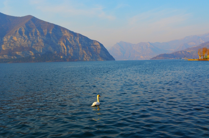 swan, lake d'iseo italy, monte isola island, travel pictures, photography lake, mountains, italy, island